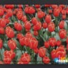 Dienblad tulpenveld 375x265mm L